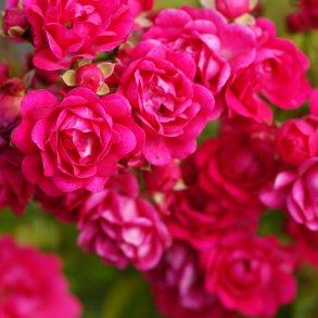 Specielle roser