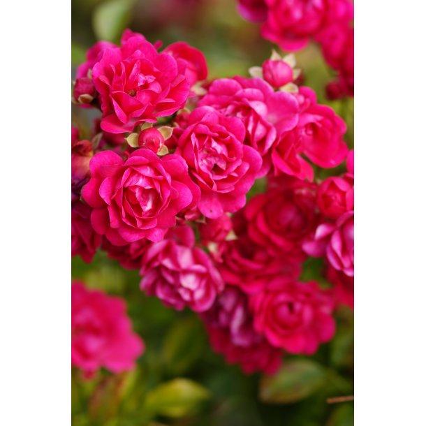 Folkekære Rosa 'Red Fairy - Roser - Langeskov Planteskole Blomster- og WD-31