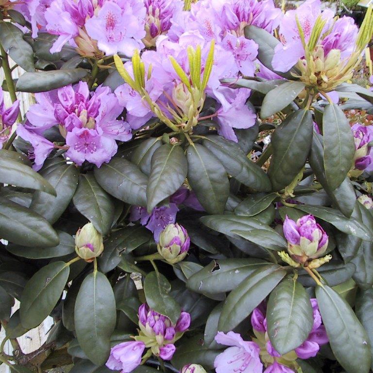 Rhododendron cat.'Grandiflora' - Hække - Langeskov Planteskole Blomster- og Havecenter