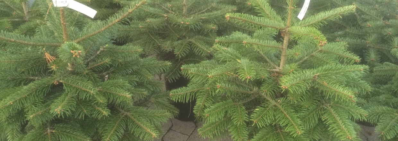 Stort udvalg i juletræer med rod.