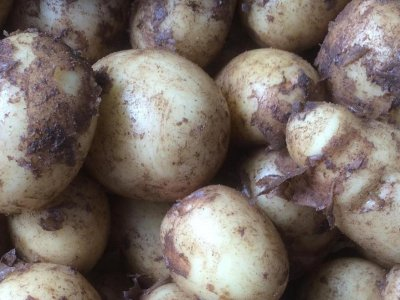 Læggekartofler