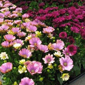 Sæsonens blomster