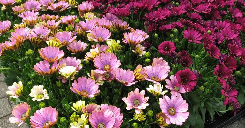 Kæmpe udvalg af sommerblomster hele sommeren.