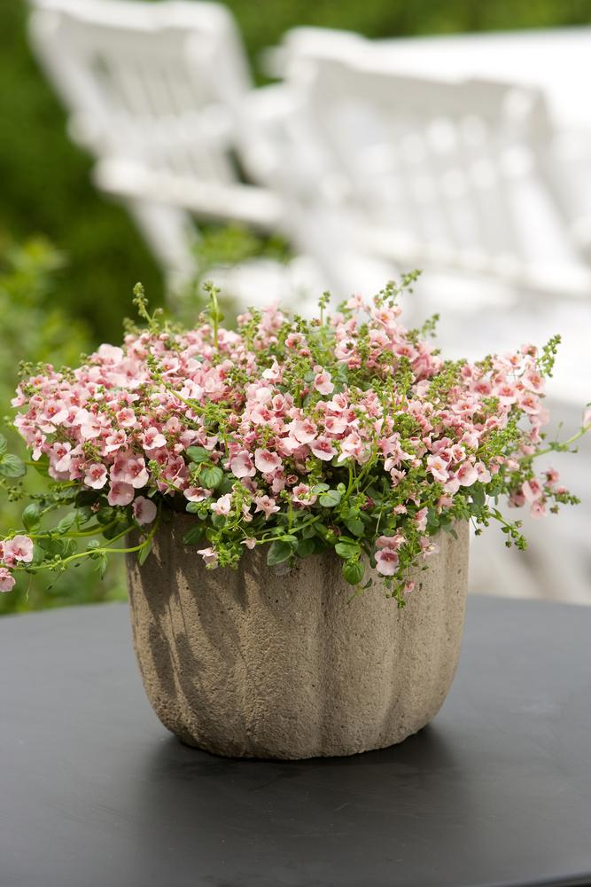 Sæsonplanter - Langeskov Planteskole Blomster- og Havecenter