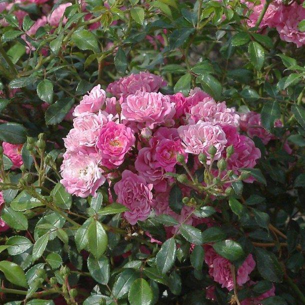 Rask Rosa 'Pink Fairy' - Roser - Langeskov Planteskole Blomster- og MQ-18