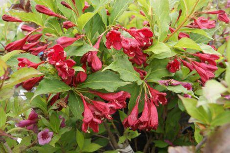 weigela hybrida 39 red prince 39 buske langeskov planteskole blomster og havecenter. Black Bedroom Furniture Sets. Home Design Ideas